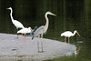 Great Blue Heron, White Ibises and Great Egret