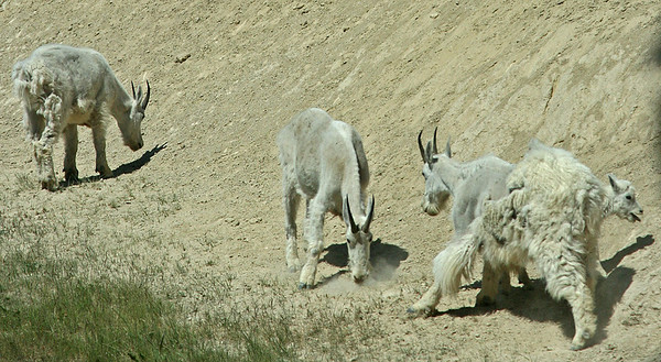 IMG_0497 Mountain Goats - Icefields Parkway SM