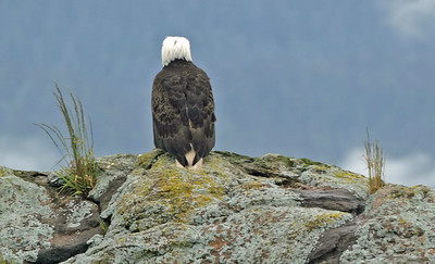 IMG_3292 Bald Eagle near Ketchikan SM