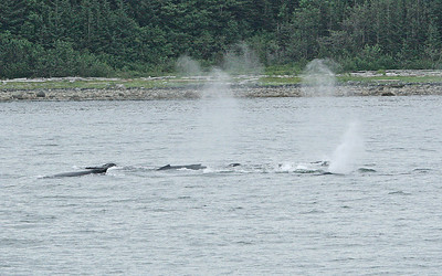 IMG_3493 Humpbacks at Juneau SM