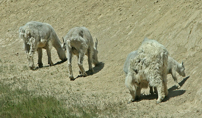 IMG_0496 Mountain Goats - Icefields Parkway SM