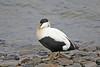 IMG_1858 Male Eider Duck, Spitsbergen SM
