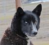 IMG_1416 Sled dog with one blue eye, nr Longyearbyen, Spitsbergen SM