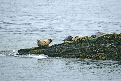 IMG_3288 Harbour Seals at Ketchikan SM