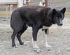 IMG_1415 Sled dog with one blue eye, nr Longyearbyen, Spitsbergen SM