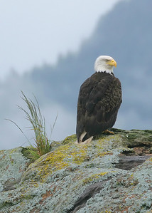 IMG_3302 Bald Eagle near Ketchikan SM2