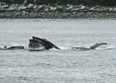 IMG_3441 Humpbacks at Juneau SM