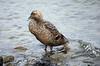 IMG_1859 Female Eider Duck, Spitsbergen SM