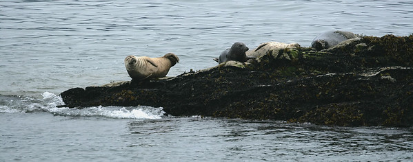 IMG_3288 Harbour Seals near Ketchikan SM