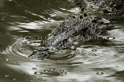 Crocodile at Sungei Buloh Wetland Reserve