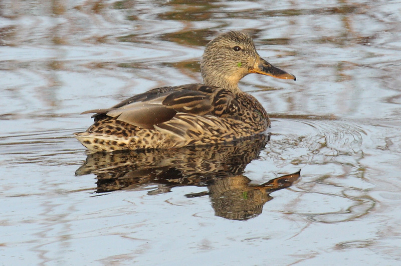 Juvie Gadwall?