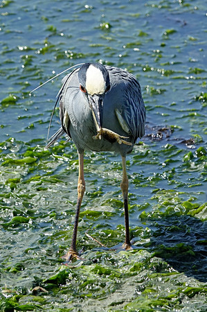 Yellow Crowned Night Heron with a snack