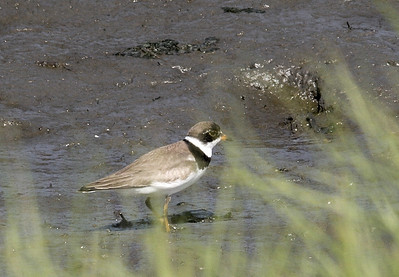 Semipalmated Plover.