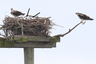 Two Osprey chicks. Look closely at the 2 black arrows. June 15th.