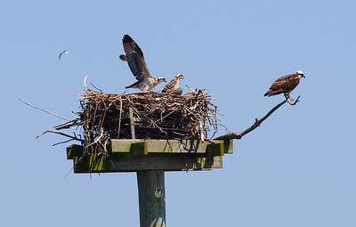 Osprey chicks one month later (7/14). Testing his (her?) wings.