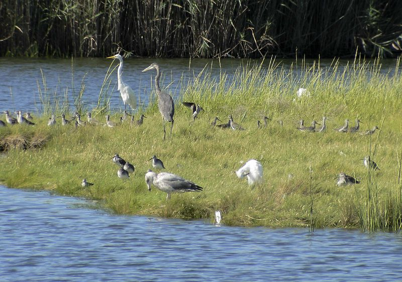 The Gang's All Here!. Great Blue Heron, Great Egret, Snowy Egret (preening), Gull and Willets(?).