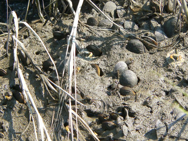 Can you spot the mud fiddler crabs in this picture? The male's large, yellow pincer has little other use than as a display during courtship. The females have dark pincers of equal size.   Mud fiddlers, as the name implies, burrow in the mud; the tunnel of a burrow can be up to three feet long. As high tide approaches, mud fiddlers plug the entrances to their burrows with mud and wait for the tide to recede before coming out again.