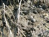 Can you spot the mud fiddler crabs in this picture? The male's large, yellow pincer has little other use than as a display during courtship. The females have dark pincers of equal size. <br /> <br /> Mud fiddlers, as the name implies, burrow in the mud; the tunnel of a burrow can be up to three feet long. As high tide approaches, mud fiddlers plug the entrances to their burrows with mud and wait for the tide to recede before coming out again.