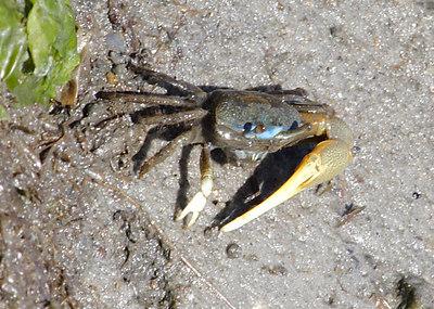(Mud) Fiddler Crab.
