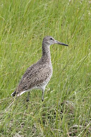Willet in the marsh.