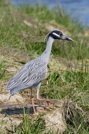Yellow Crowned Night Heron.