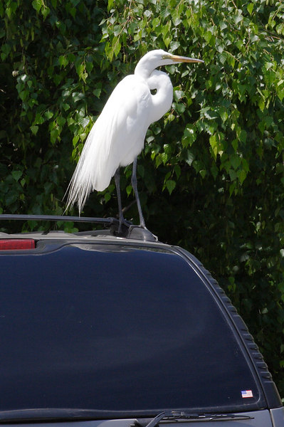 Great Egret waiting for me when I got back to the parking lot.