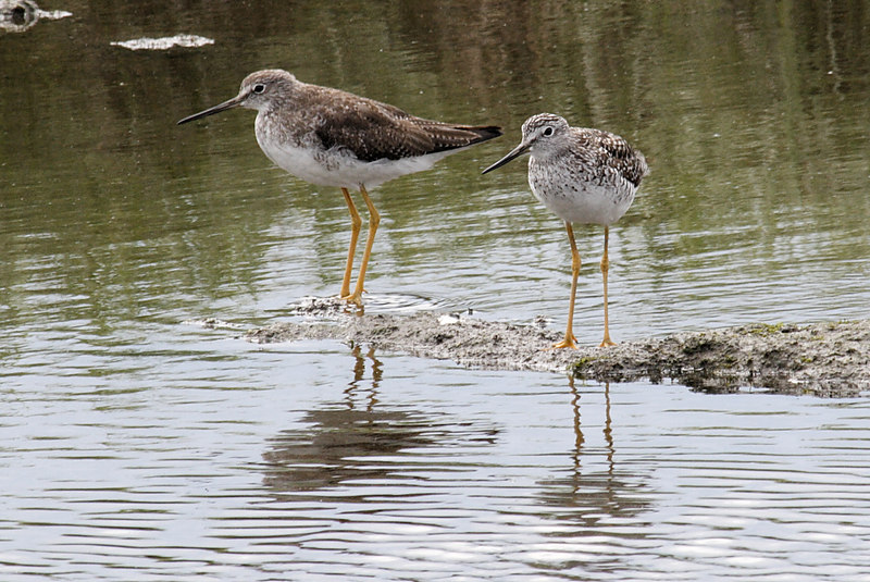 Greater (I think) Yellowlegs.