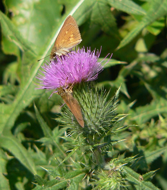 Butterfly? and thistle