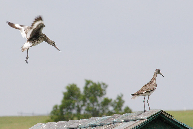 Willets. They are really pretty when they fly with the white and black bands on their wings. They are also quite vocal when nesting (as they are now).