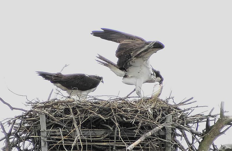 A tasty morsel. 2 ospreys nesting at the Marine Nature Study Area in Oceanside, L.I., NY
