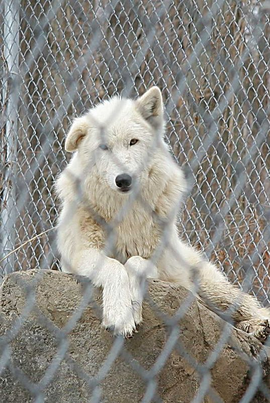 Apache, the alpha male. He is an Arctic and British Columbian wolf mix.