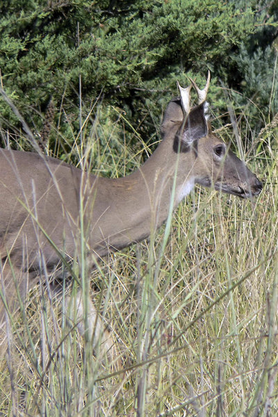 Spike Buck at Robert Moses State Park (NY).