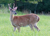Sullivan County Buck in velvet.