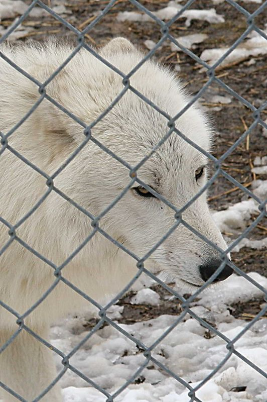 Atka is a 2 year old Arctic Wolf. He is fairly tame and travels to schools, nature centers and other events to help educate people about wolves.