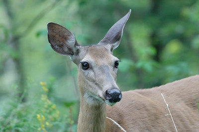 Roadside doe near North Branch, NY.