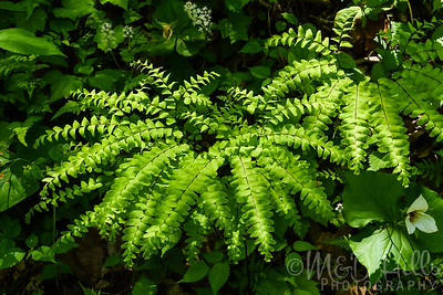 Maidenhair Ferns