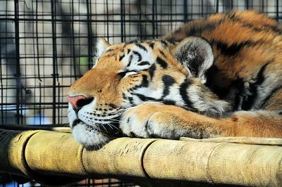 Siberian Tiger resting
