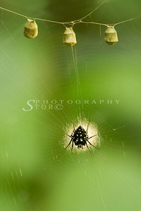 Neogea nocticolor spider with her eggs sacs. The Neogea Nocticolor Spider is often known for it's intricate and fascinating patterns it weaves on it's web. The 3 odd sacs hanging equidistant from each other above the spider.
