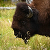 Check out the Bison tongue
