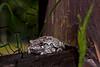Eastern Grey Tree Frog