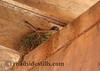 Eastern Phoebe  - Bird Nesting 112