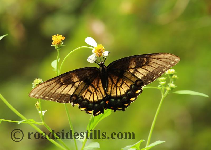 Butterfly #341