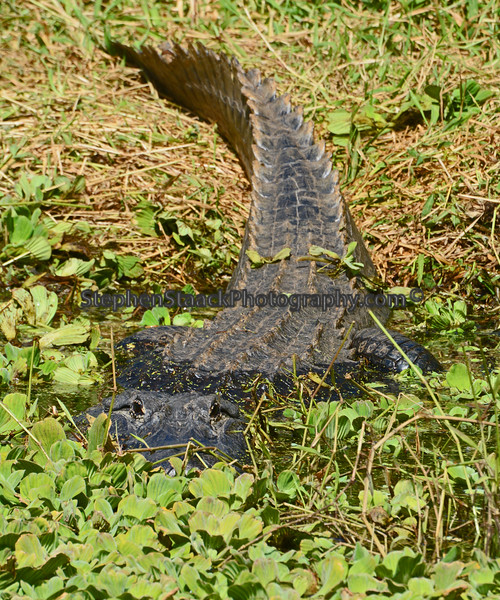 Large American  Alligator seen along U.S. 41 east of Naples, Florida.