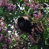 Howler Monkey in Almond Tree