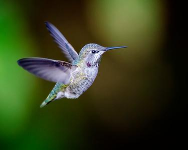 Hummingbird hovering