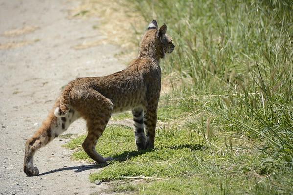 Bobcat looking for prey!