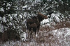 New England Winter Wildlife ~ Mother and Calf