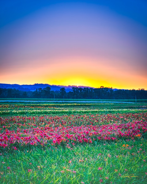 Fields of Lilies 2