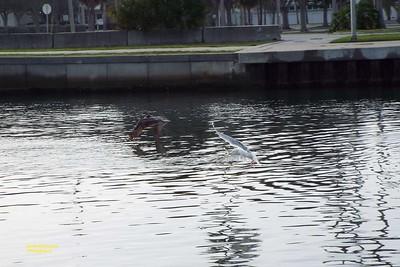 Sarasota Wildlife Brown Pelican / Sea Gull