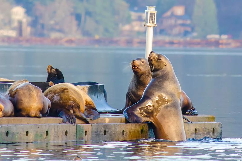 Sealions in Cowichan Bay